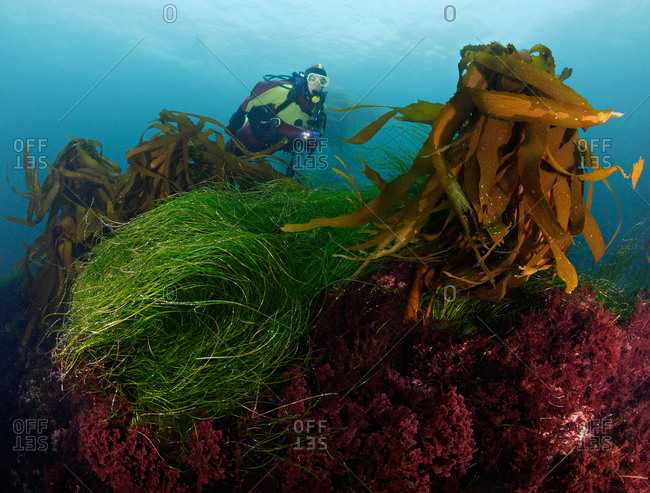 Scuba diver overtop reef covered in various kelps and algaes, Southern Sea Palm Kelp sprouting from top