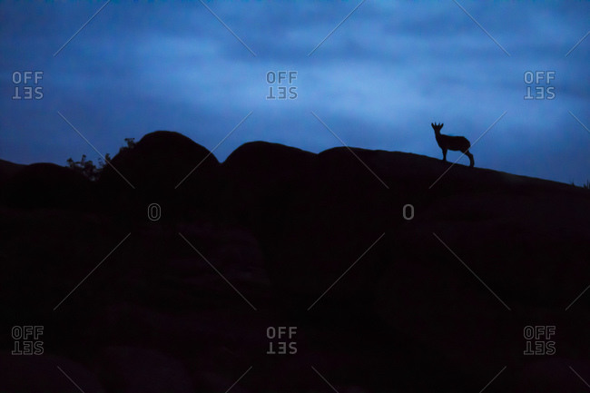 Young Spanish wild goat, capra pyrenaica, silhouette on top of rocks, La Pedriza, Madrid, Spain