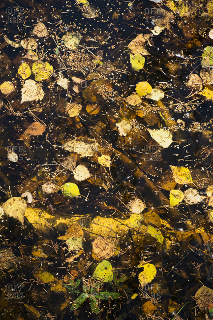 Birch leaves and pine-needles floating on tarn