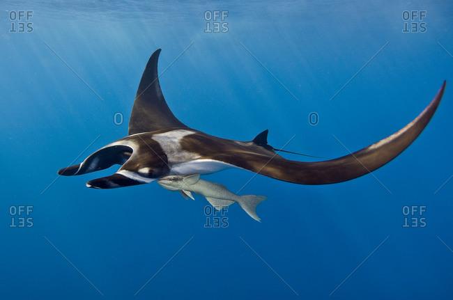Manta ray (Manta hamiltoni) accompanied by a remora