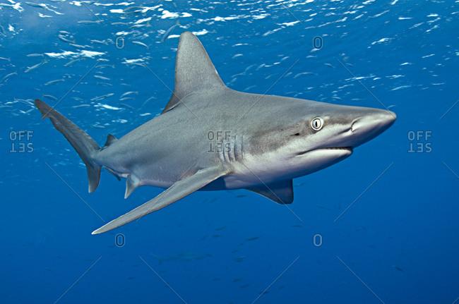 A sandbar shark (Carcharhinus plumbeus)