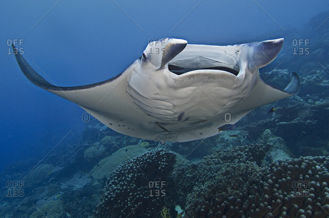 A manta ray (Manta birostris) at a cleaning station where it is being cleaned by a variety of cleaner fishes
