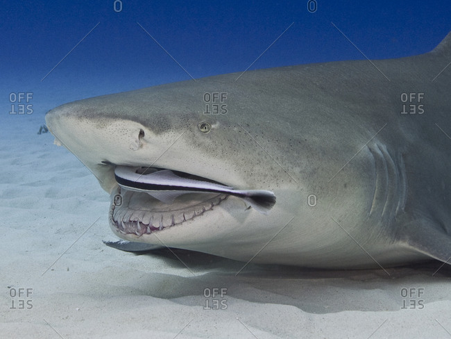 A remora in the mouth of a lemon shark (Negaprion brevirostris)
