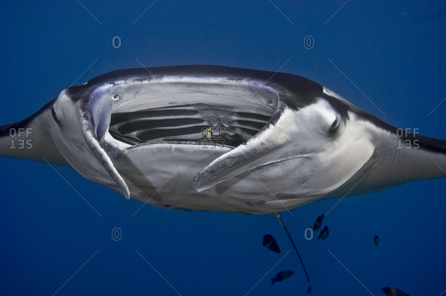 Manta ray (Manta birostris) attended by cleaner fish