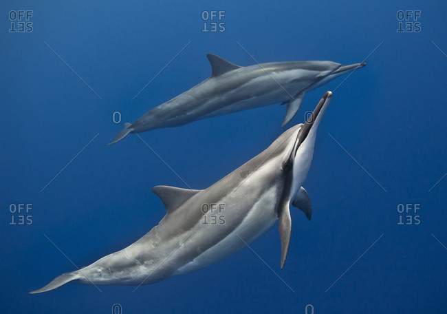 Two Spinner dolphins (Stella longirostris)