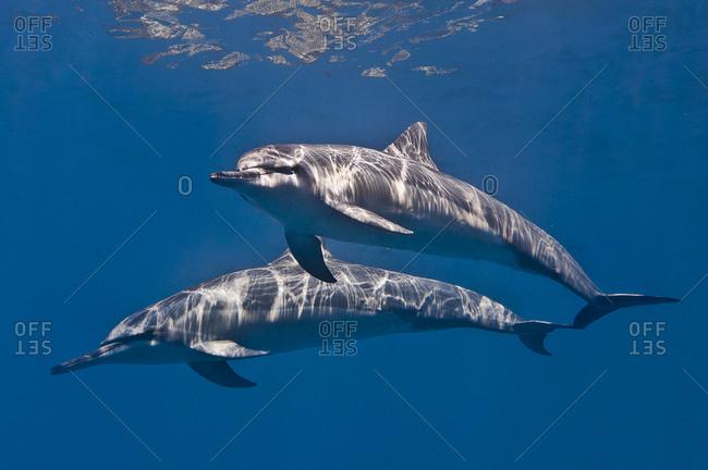 Pair of Spinner dolphin (Stella longirostris)