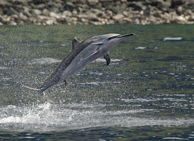 A Spinner dolphin, bearing a bite mark from a shark and also hosting a remora, leaping out of the water