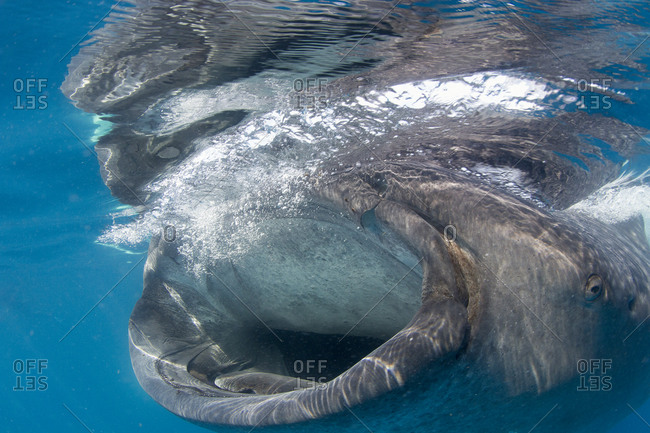 Close up of a whale shark feeding at the surface