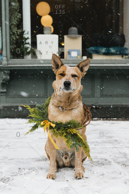 Dog sitting on a snow covered sidewalk wrapped in a festive wreath