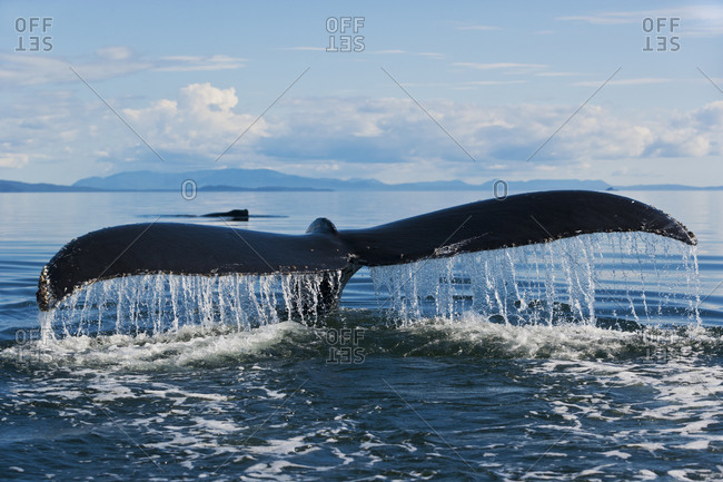Humpback Whale (Megaptera novaeangliae) tail flukes