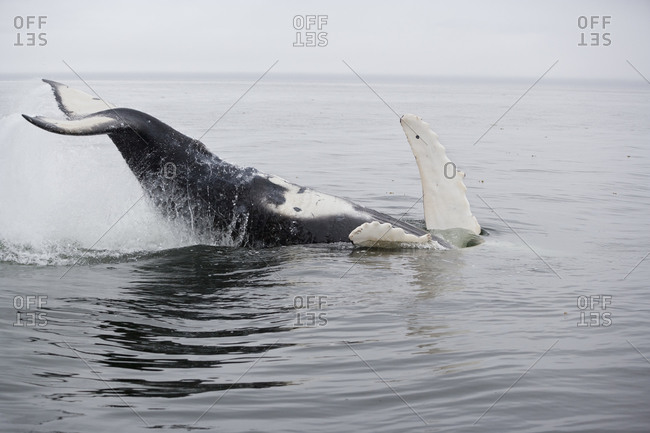 Humpback Whale (Megaptera novaeangliae) playful young whale upside down at the surface, slapping tail flukes