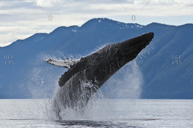 Humpback Whale (Megaptera novaeangliae) breaching high into the air, twisting its 30 ton body