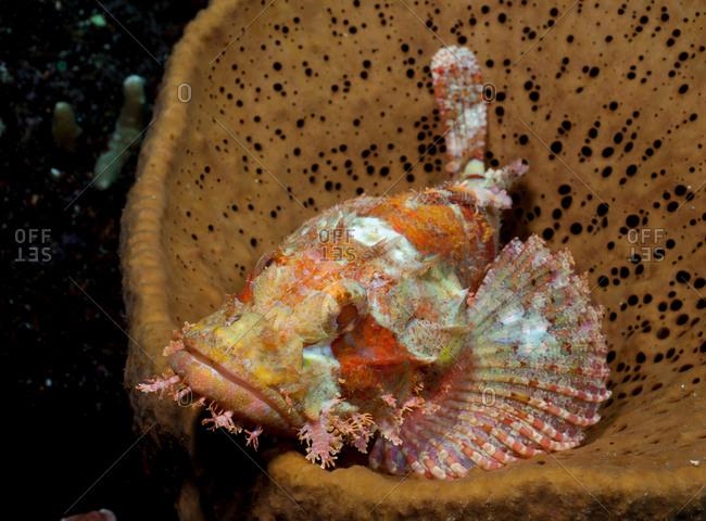 Tassled (or Bearded) scorpionfish, Scorpaenopsis oxycephala, rests inside a Basket sponge