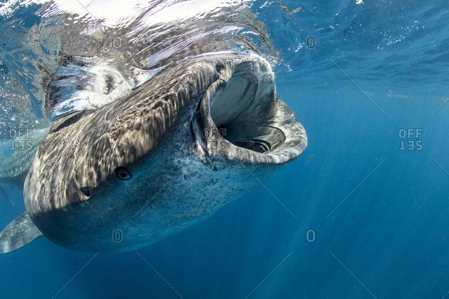 Whale Shark (Rhincodon typus) encounters