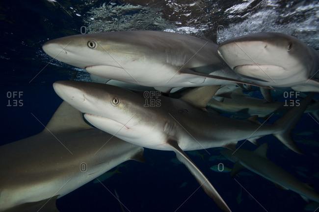 Caribbean reef sharks (Carcharhinus perezi) circle under the surface