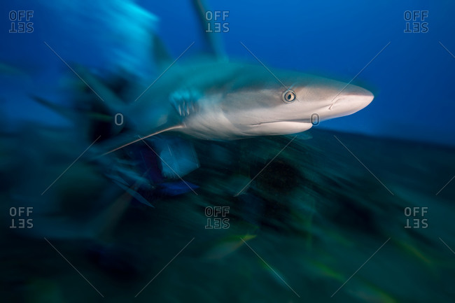 Long shutter speed helps to depict the speed of a Caribbean reef shark (Carcharhinus perezi)