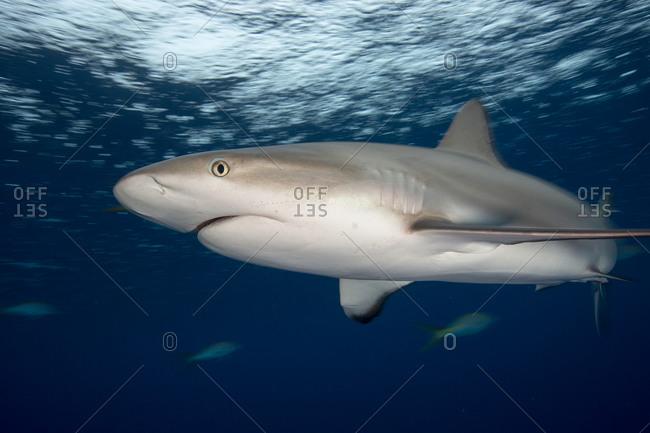 Caribbean reef shark (Carcharhinus perezi) near the surface on a gloomy day