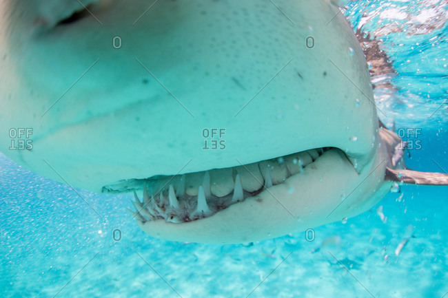 Close-up of the mouth and curved teeth of a Lemon shark (Negaprion brevirostris) as it bumps the underwater photographer