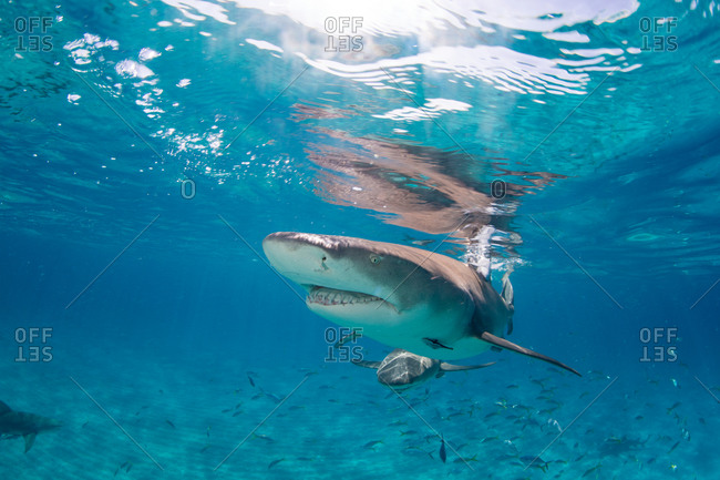 Lemon shark (Negaprion brevirostris) in the clear waters