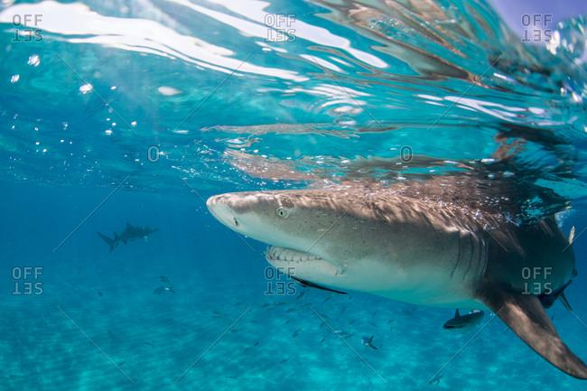 Profile of lemon shark (Negaprion brevirostris)