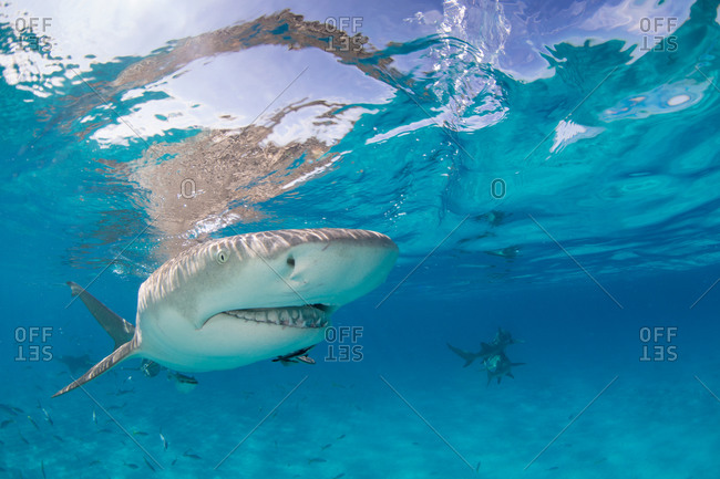 Lemon shark (Negaprion brevirostris) swimming in the clear waters