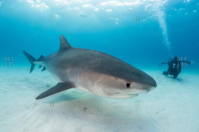 A Tiger shark (Galeocerdo Cuvier)