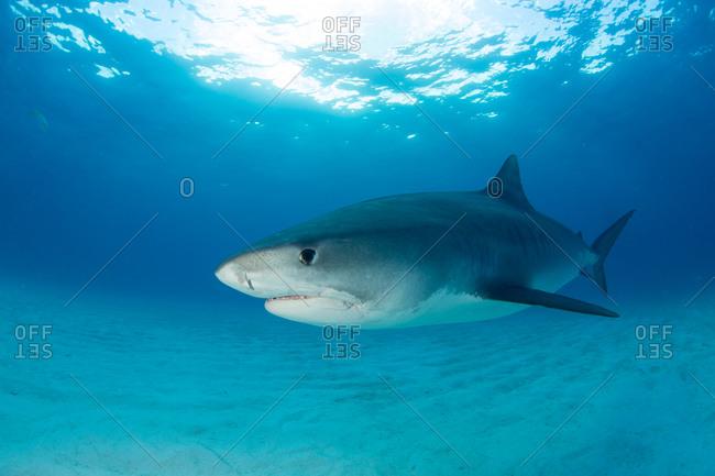 Majestic tiger shark (Galeocerdo Cuvier)