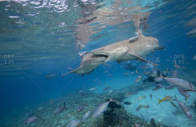 Lemon shark biting another lemon shark during staged feeding