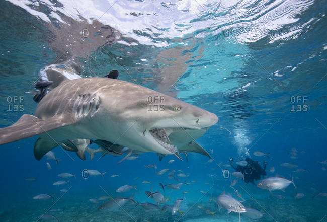 Lemon sharks compete during a staged shark feeding dive