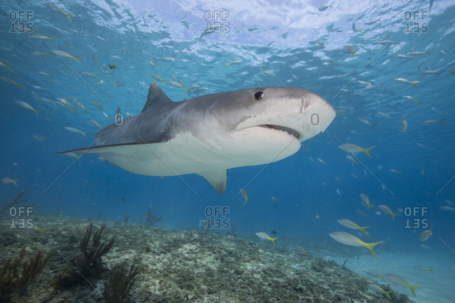 Tiger shark in clear water