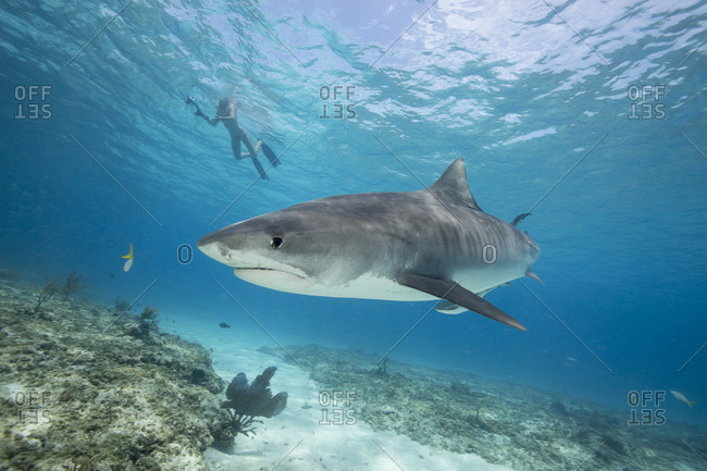 Snorkeling with a Tiger shark