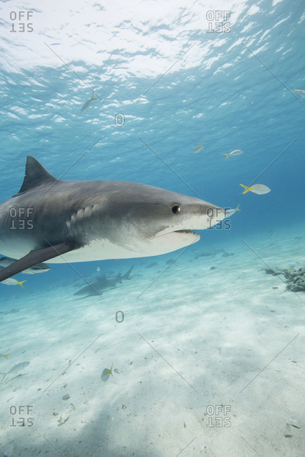 Profile of a Tiger shark