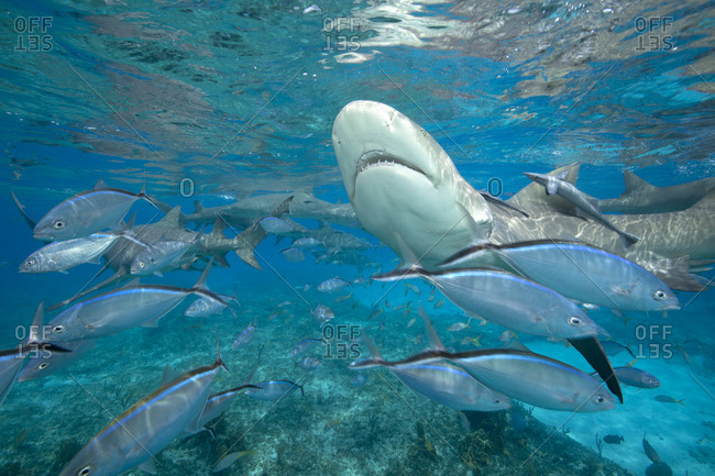Shark feeding dive draws both Lemon sharks and schooling fish in search of an easy meal