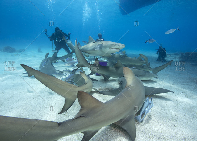 Lemon sharks, drawn to a bait box during a shark feeding dive, surround an underwater photographer