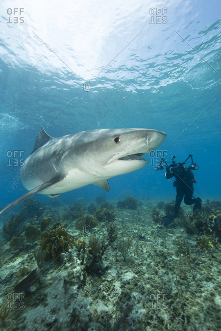 Underwater photographer attempts to capture shot of Tiger shark, drawn in close during a shark feeding dive