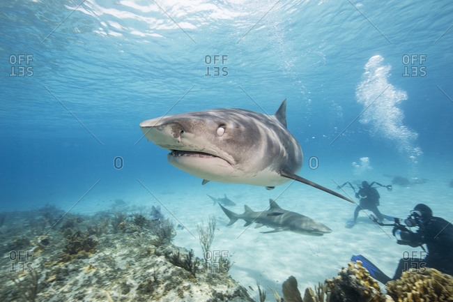 Nictitating membrane on the eye of a Tiger shark rotates as the shark nears its' prey