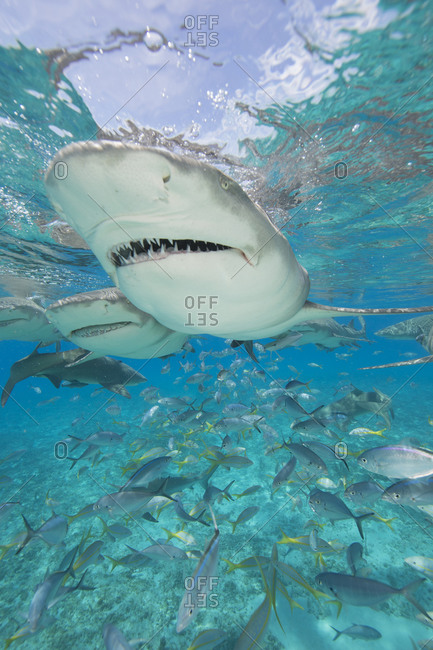 Lemon sharks compete during a staged shark feeding