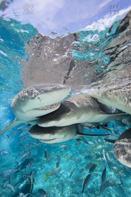 Lemon sharks fight for food during a staged shark feeding