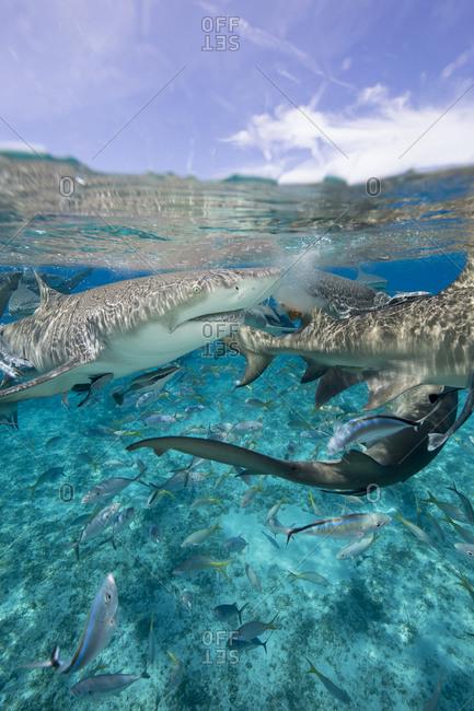 Lemon sharks go after during a staged shark feeding dive