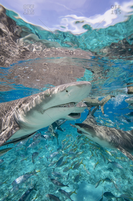 Lemon sharks go after during a staged shark feeding