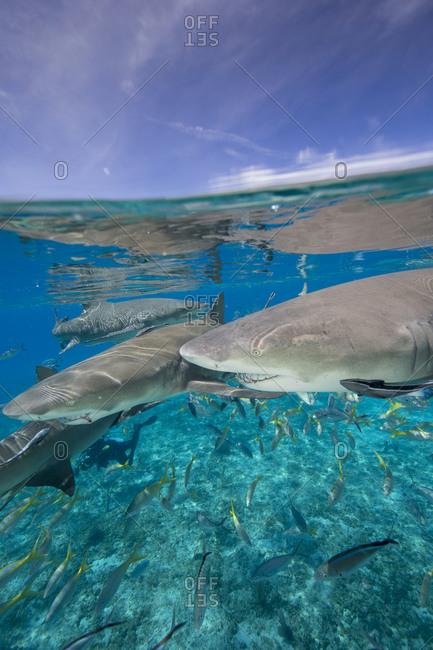 Lemon shark ready to eat