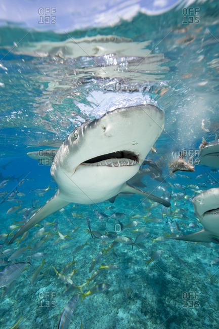 Staged shark feeding near ocean's surface