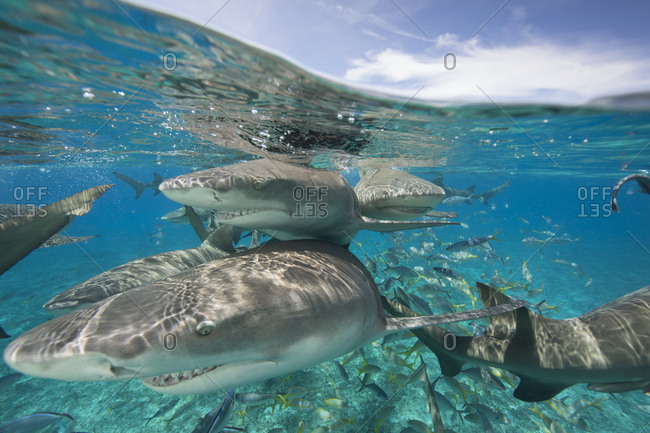 Lemon sharks search during a staged shark feeding dive