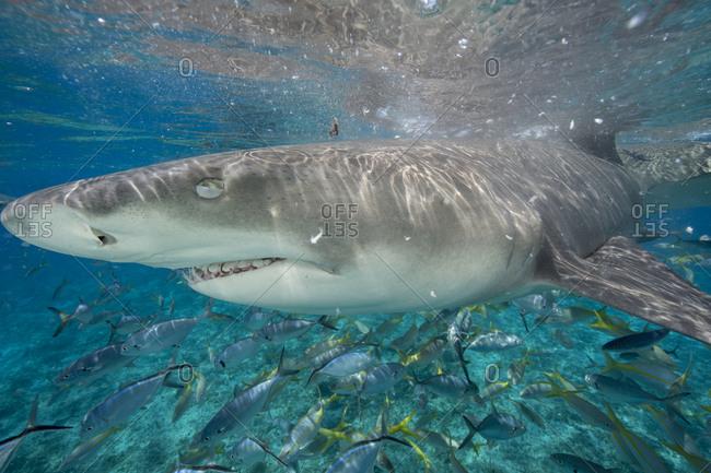 Lemon sharks during a staged shark feeding