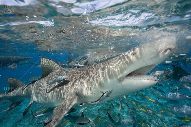 Lemon shark ready to chomp  during a staged shark feeding dive