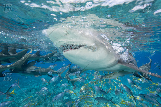 Underwater shot of a  lemon sharks going above the surface