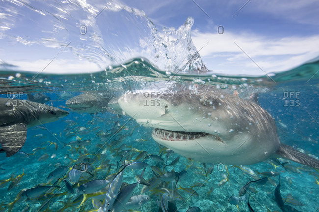 Lemon sharks during a staged feeding dive near surface