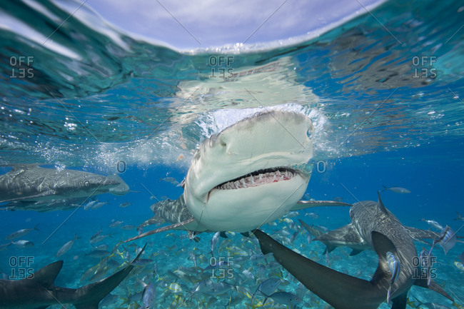 Lemon sharks during a staged feeding shark dive