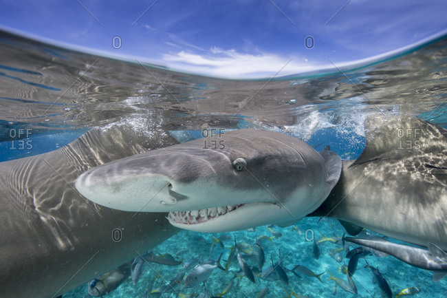 Glaring lemon shark during a staged feeding shark dive