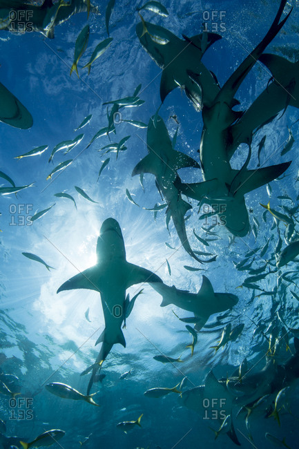 Silhouette of sharks - Offset Collection